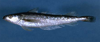 Frost_Fishing_for_Silver_Hake