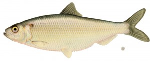 deadbait herring Best Pike Dead Baits