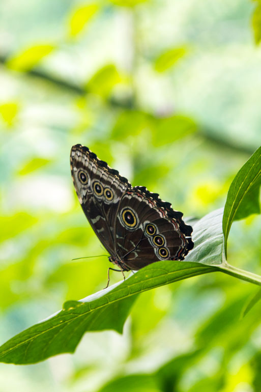 costa-rica-butterfly