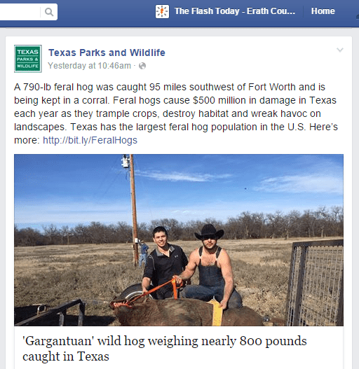 """The Texas Parks and Wildlife Department might have declared """"BoarZilla"""" to be feral, but judge said the """"little piggy"""" has a home."""