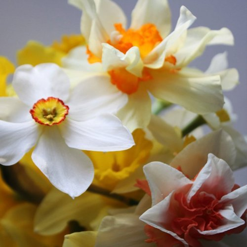 100 Mixed Scented English Narcissi