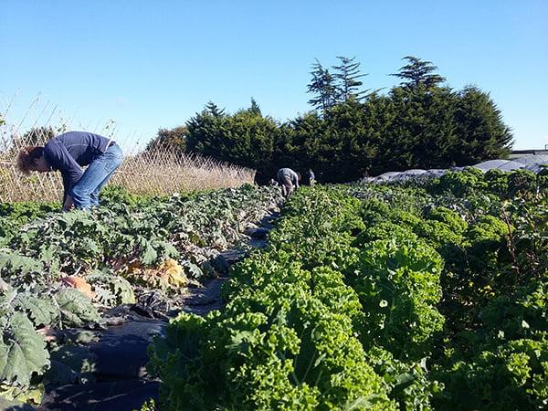 Sutton Community Farm Harvest