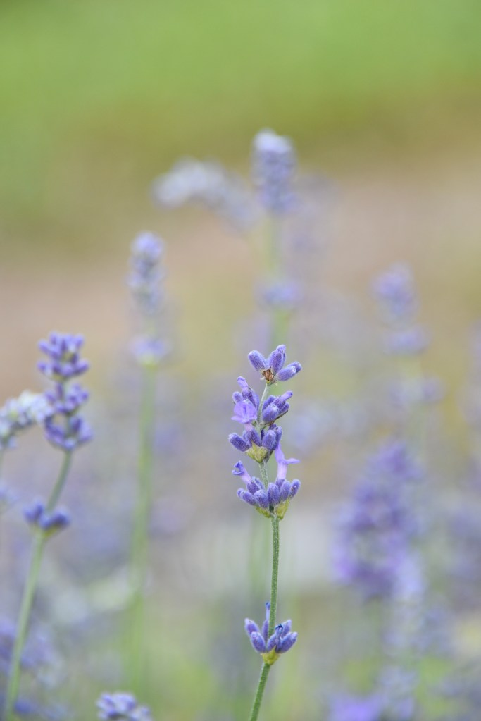 The Lavender