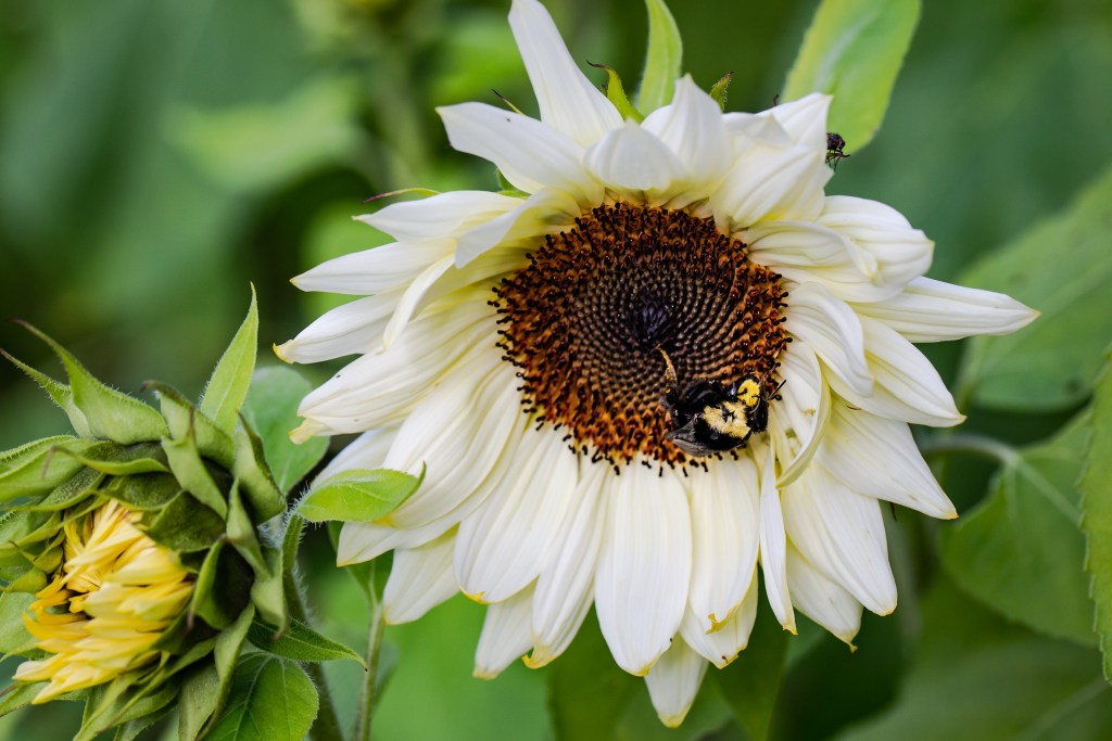 bumble bee pollinating sunflower