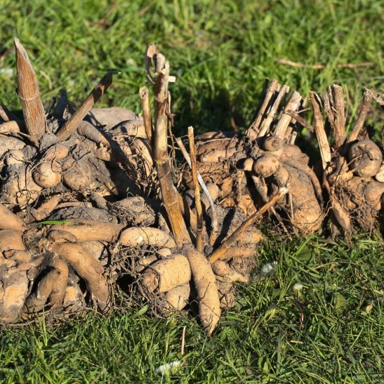 cluster of dahlia tubers dug up