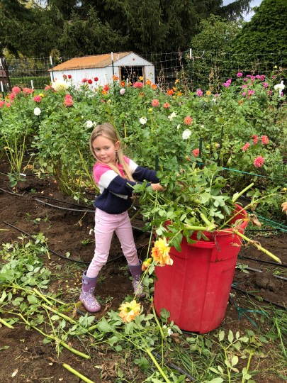 daughter helping clean up the dahlias