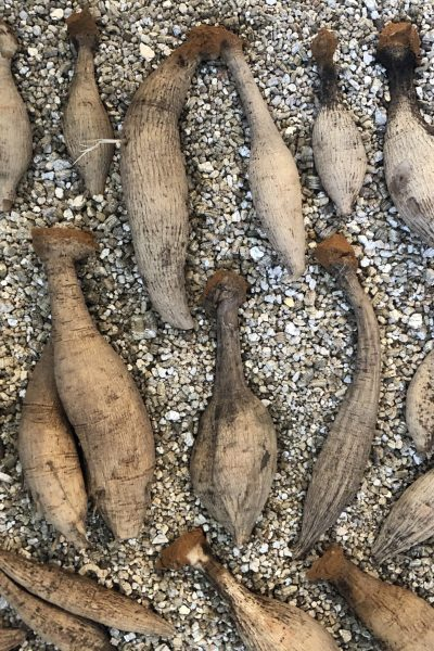 divided dahlia tubers in vermiculite
