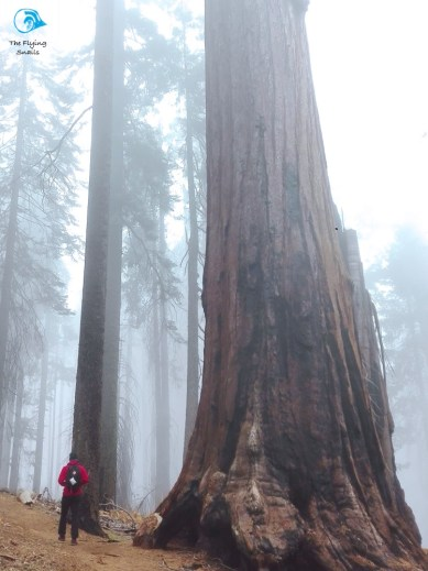Foggy Sequoia forest