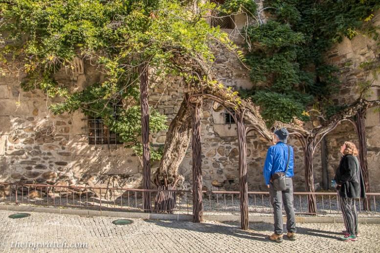 Ancient wisteria