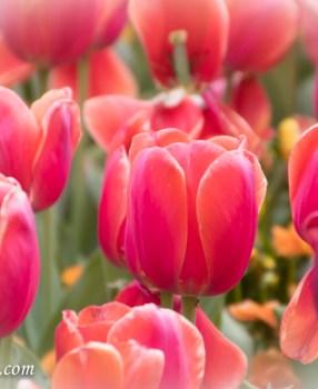Canberra's Floriade Spring flower festival