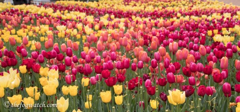 Tulips in abundance at Floriade