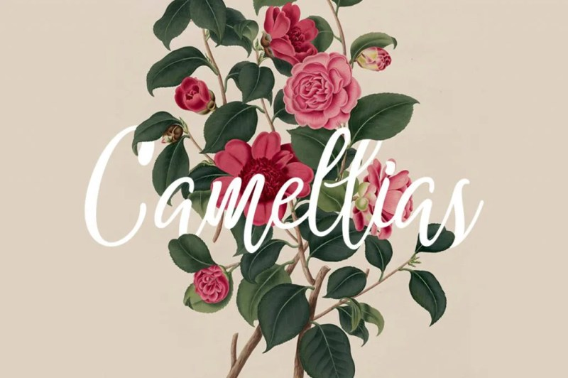 Camellias [Thefontsmaster.com]