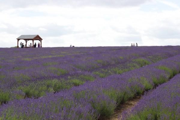 mayfield_lavender_farm