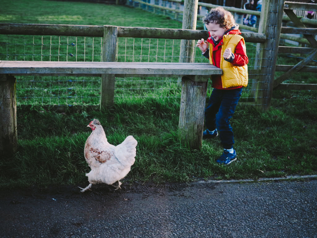 chicken and child in farm