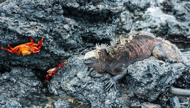 Marine Iguana and Sally Lightfoot Crab, Isabela Island, Galapagos