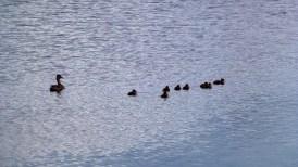 mallard with her ducklings