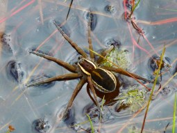 Dolomedes fimbriatus - a raft spider