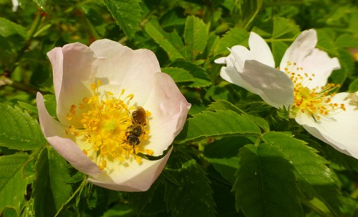 a little bee on dog rose