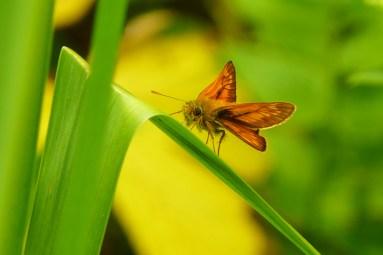 large_skipper_butterfly