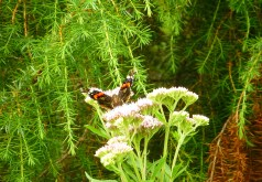 red admiral and juniper