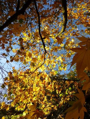 yellow_maple