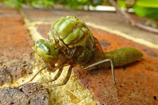 dragonfly_emergence