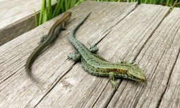 two_lizards
