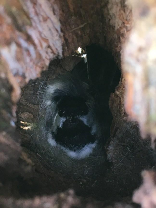Chickadee in Nest