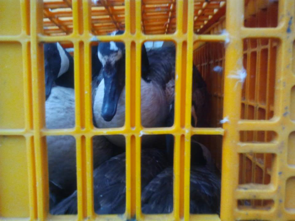 Two of the geese removed by the USDA and transported to their subsequent slaughter. Photo Courtesy of Goosewatch NYC