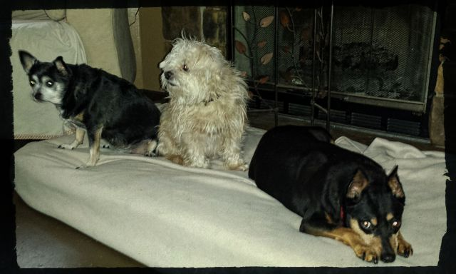 The Older Kids, our 3rd dog pack: Meaty - Min Pin/Chihuahua mix; Snuggles - Wire-haired terrier mix; Ozzy - Min Pin mix