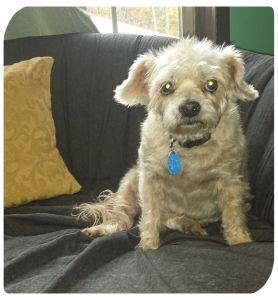 Senior Dog Foster, Snuggles, 10-12 yr old terrier mix