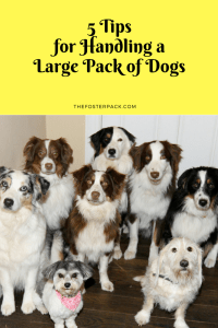 5 Tips for Handling a Large Pack of Dogs