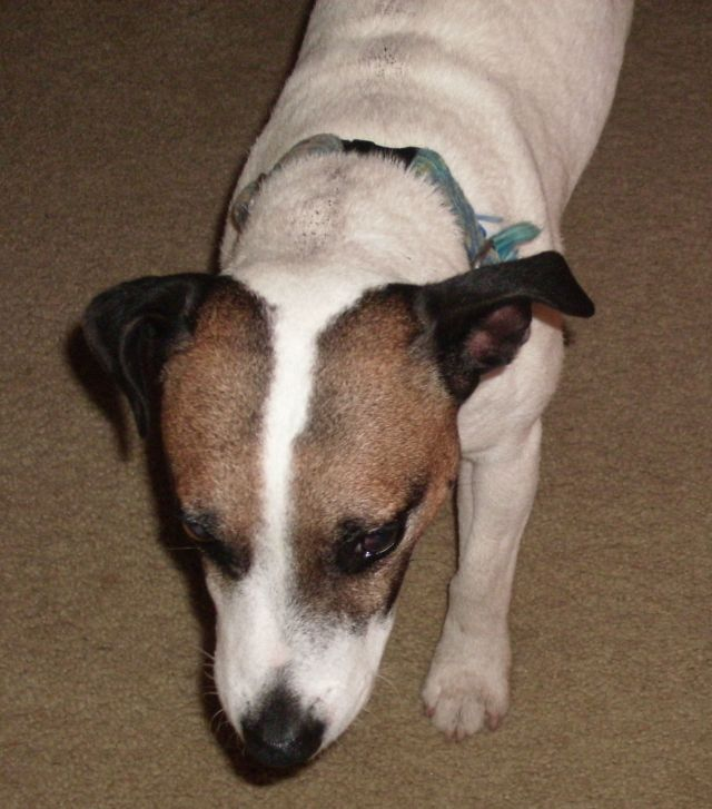 Jackyl, 5 years, The Jack Russell Terrier