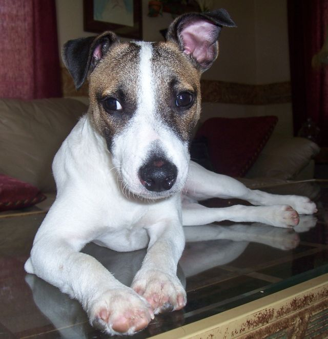 Jackyl, 6 Months, the Jack Russell Terrier