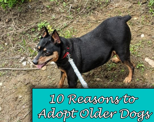 10 Reasons to Adopt Older Dogs - Ozzy was adopted at 7, at 11 he's still ready to go anywhere we'll take him.