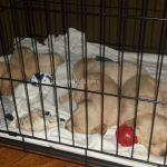 3 wk old Foster puppies