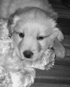 Fostering Puppies: Claude, 6 wks old
