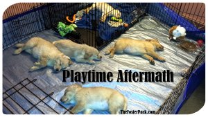 Fostering Puppies: Playtime Aftermath