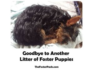 Goodbye to Another Litter of Foster Puppies
