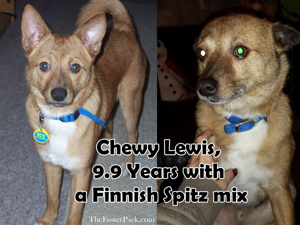 Chewy Lewis, 9.9 Years with a Finnish Spitz mix