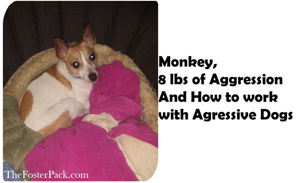 Monkey, 8 lbs of Aggression, and How to work with Aggressive Dogs