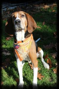 Snoopy, 7 yr old Coonhound.