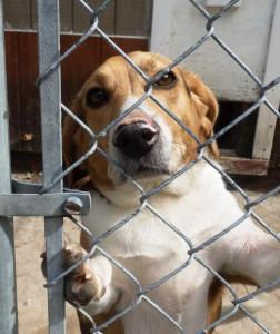 Buddy the Beagle just wants a forever home!