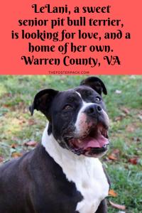 Lelani, Senior Pitbull Long-term shelter resident Warren County, VA