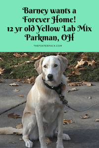 Barney, 12 yr old Yellow Lab Mix