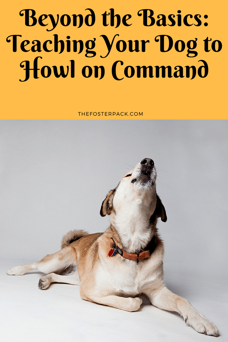 Beyond the Basics: Teaching Your Dog to Howl on Command