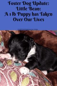 Little Bean: A 1LB Puppy has Taken Over Our Lives