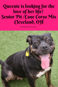 Queenie is looking for the love of her life! Senior Pit /Cane Corso Mix
