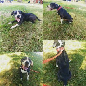 Hercules American Staffordshire Terrier Mix