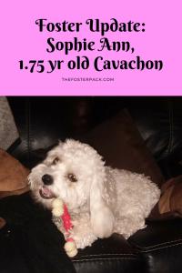Sophie Ann 1.75 yr old Cavachon